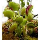 Venus Flytrap  Carnivorous  House Plant