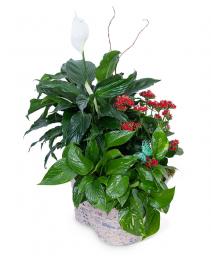 Verdant Basket Plant