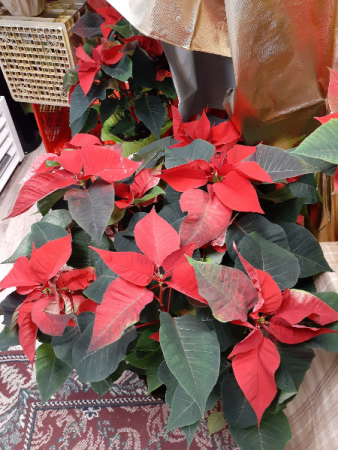 very large Poinsettia