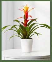 Vibrant Bromeliad Bright, indirect light is best