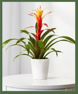 Vibrant Bromeliad Bright, indirect light is best in Arlington, TX   Erinn's Creations Florist
