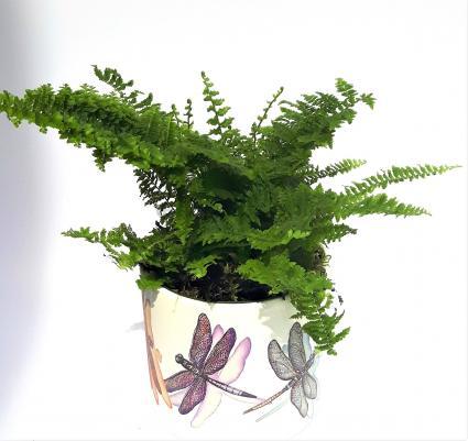 Fluffy Ruffles fern plant