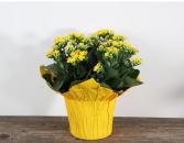 Vibrant Kalanchoe Indoor Plants