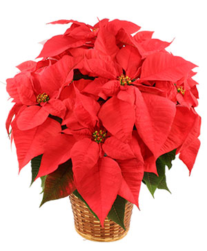 Vibrant Red Poinsettia Flowering Plant in Union, MO | Sisterchicks Flowers and More LLC