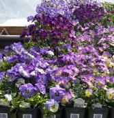 Viola Perennial - Full sun - light shade
