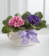 Violet Blooming Basket Plants