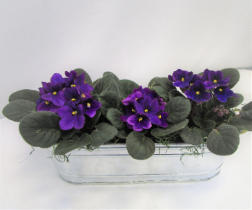 VIOLET TRIO PLANTER BLOOMING PLANTS