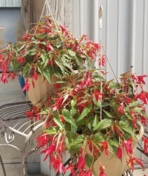 Waterfall Begonia Hanging Basket