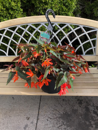 Waterfall Begonia Hanging Basket Hanging Basket