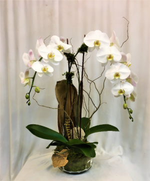 Waterfall Orchid Plant in Boca Raton, FL | FLOWERS OF BOCA