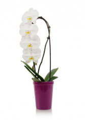 """Waterfall"" Orchids Fresh Plant"