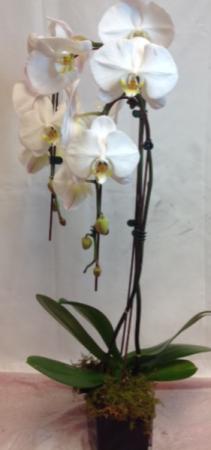 Waterfall Phalaenopsis Orchid Blooming Plant
