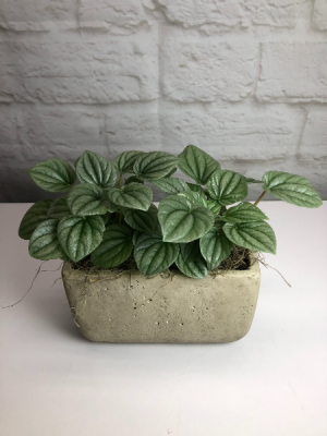 Watermelon Peperomia in Grey Concrete  Unique Indoor Green Plant in South Milwaukee, WI   PARKWAY FLORAL INC.