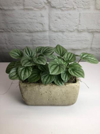 Watermelon Peperomia in Grey Concrete  Unique Indoor Green Plant