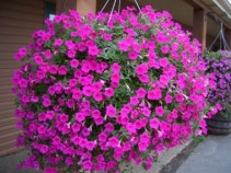 Wave petunia hanging basket mothers day