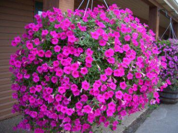 Wave petunia hanging basket mothers day