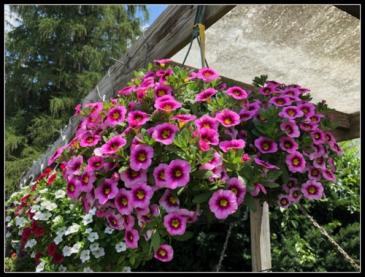 Wave Petunias Outdoor Hanger