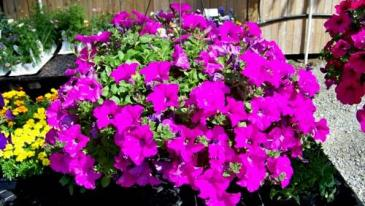 Wave Petunias Outdoor Plants
