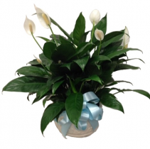 WFP 301  Peace Lily