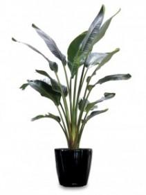White Bird of Paradise Tropical Plant