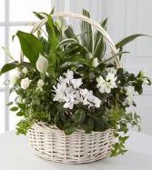 White Blooming Basket Sympathy Plant