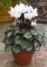 WHITE CYCLAMEN PLANT