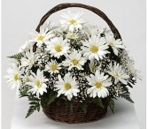 White Daisy Basket Fresh basket arrangement