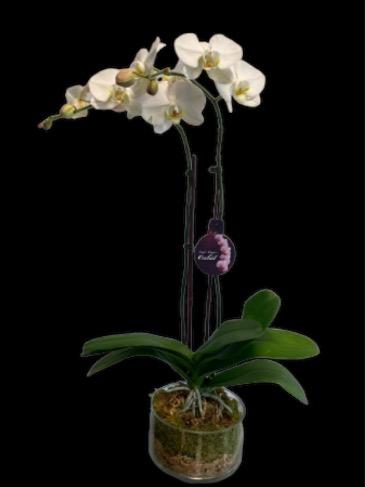 White Double-Stem Orchid Plant