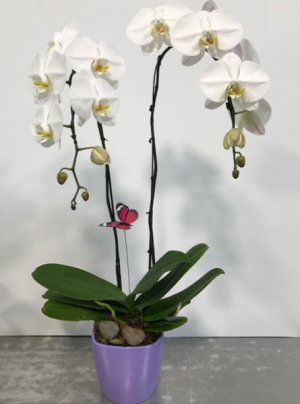 White Double Stem Phalaenopsis Orchid Double Stem Phalaenopsis Orchid in Kelowna, BC | BLOOMERS FLORAL DESIGNS & GIFTS