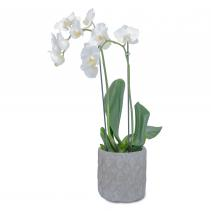 White Elegance Orchid  Arrangement