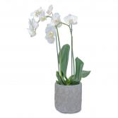 White Elegance Orchid  Plant