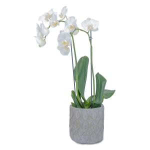 White Elegance Orchid  Plant in Kannapolis, NC | MIDWAY FLORIST OF KANNAPOLIS