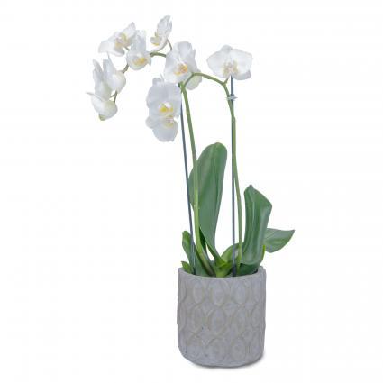 White Elegance Orchid in Pink Arrangement