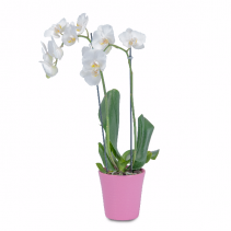 White Elegance Orchid in Pink Plant