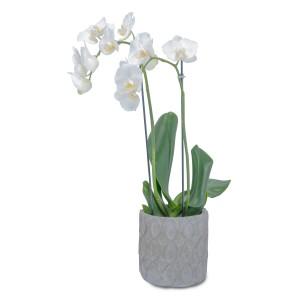 White Elegance Orchid Plant