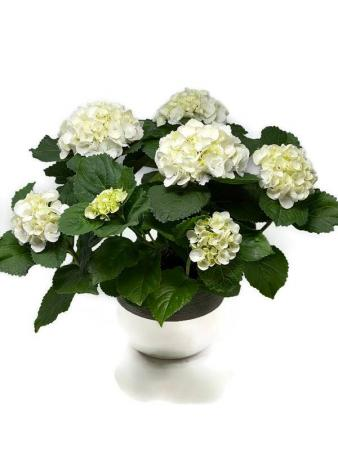 Hydrangea Plant blooming plant, easter
