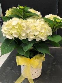 White Hydrangea Plant Easter Plant
