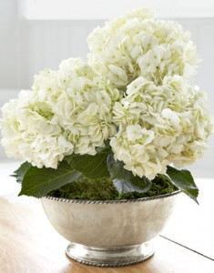 White Hydrangea Plant in Spring, TX | ANGEL'S DIVINE FLOWERS
