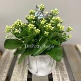 White Kalanchoe Plantt