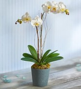 White Ocean Orchid Plant