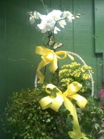 WHITE ORCHID BASKET BLOOMING BASKET