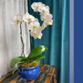 White Orchid - Double Plant