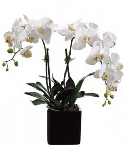 White Orchid - Double Plant in Langford, BC | PETALS N BUDS METCHOSIN FLORIST