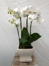 White Orchid Orchid