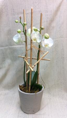 White orchid Plant in Oak Ridge, TN   MOTT'S FLORAL DESIGN