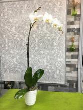White Orchid Plant  Orchid Plant