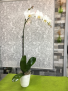 White Orchid Plant  Orchid Plant
