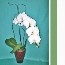 White Orchid - Single Plant