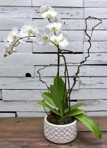 White Orchid Splendor