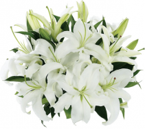 White Oriental Lily Bunch